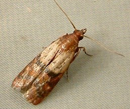 Plodia interpunctella, Indian Meal Moth