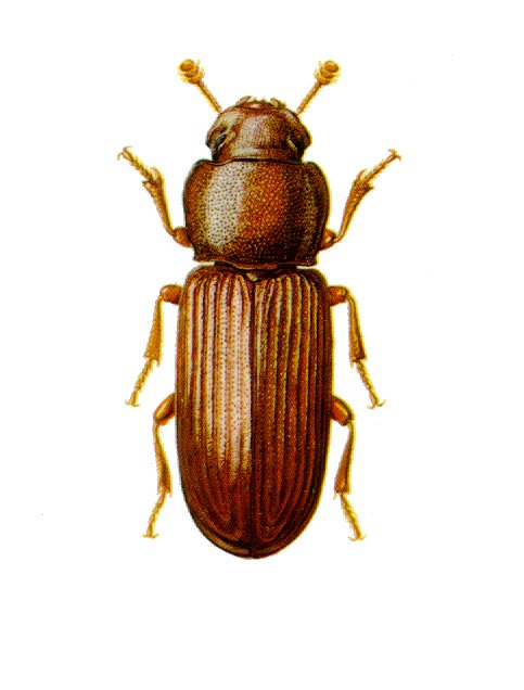 Cryptolestes ferrugineus, Flat Grain Beetle