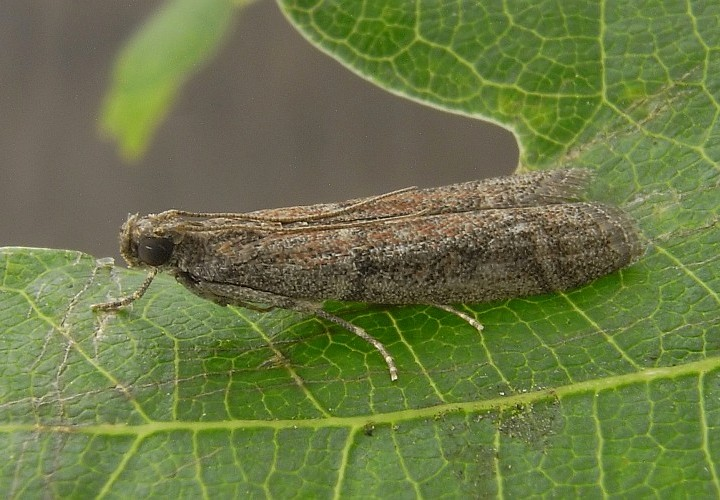 Ephestia elutella, Warehouse Cocoa Moth