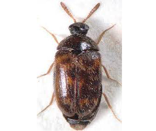 Trogoderma variable ballion, Warehouse Beetle