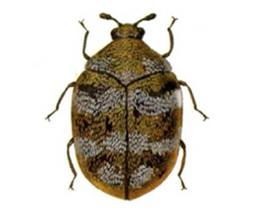 Anthrenus verbasci, Varied Carpet Beetle