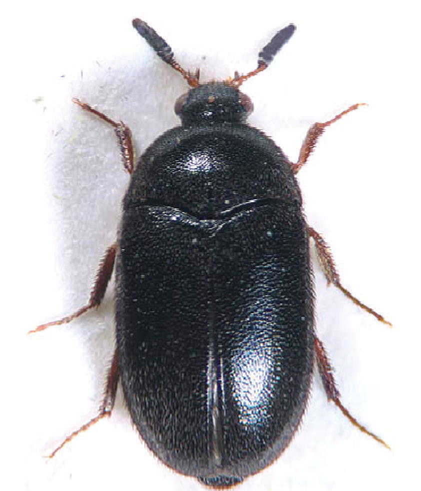 Attagenus unicolor, Black carpet Beetle